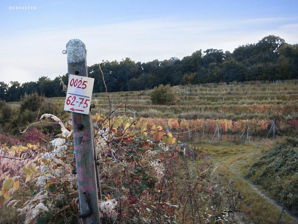 vineyard Pezinok