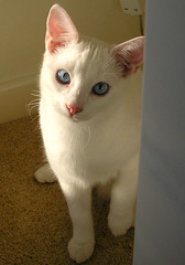 shy snoopy (twinkle_moon_bunny) Tags: white cute cat snoopy