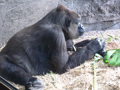 Lowland Gorilla on the Pangani Forest Exploration Trail