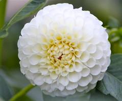 Quinta- flower (51)