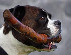 [フリー画像] 動物, 哺乳類, イヌ科, 犬・イヌ, ボクサー (犬), 201009301700