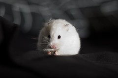 Izzy Bizzy (Kym Ellis) Tags: white cute chocolate fluffy hamster ef50mmf18ii squee nibbler