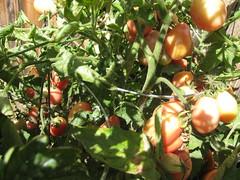 Thai Pink Heirloom Tomatoes (NoCoLocalFood) Tags: heirloomtomato fortcollinsnortherncoloradolocalfoodgardenorganic thaipink