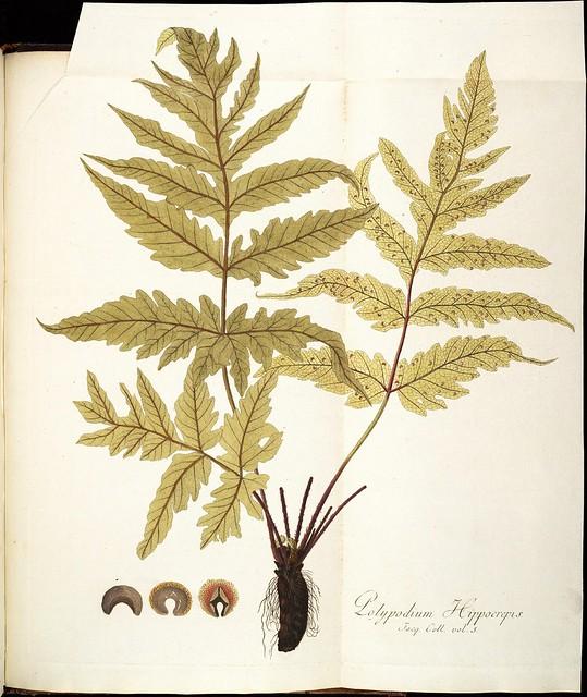 Polypodium hippocrepis
