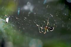 Predator - Catch (hiljainenmies) Tags: macro nature spider web silk spidersilk