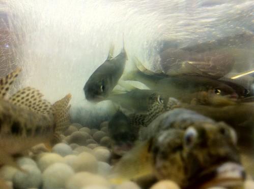 稚鮎の水槽