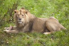 Asiatic Lion (Mark Carline) Tags: camera colour digital canon eos zoo chester dslr ff asiaticlion 5dmarkii 5d2 5dmkii 5dmk2 5dmark2 gupr