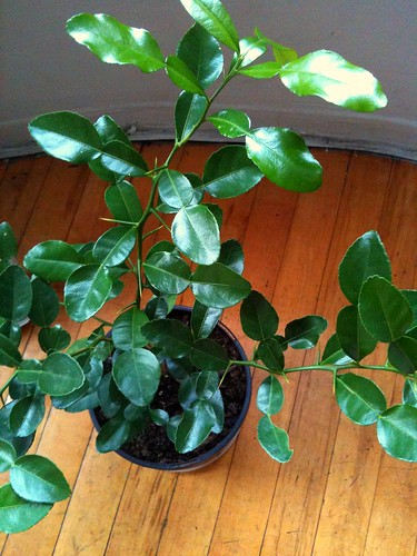 my new kaffir lime tree!