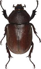 12398() (esrimed-beetle) Tags: scarabaeidae   allomyrinadichotomatunobosonis