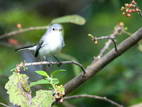 Blue-gray Gnatcatcher 20100930