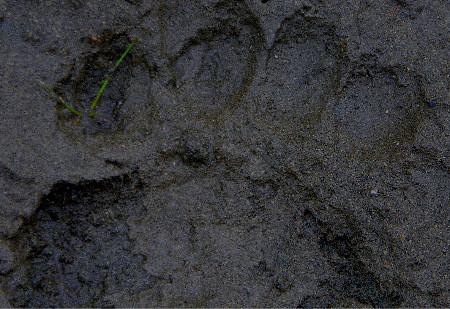 Bear track in Montana