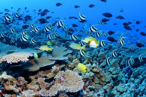 nwhi_-_french_frigate_shoals_reef_-_many_fish