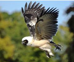 Spectacled Owl Flighing (eannen) Tags: bestofmywinners