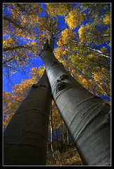 Check! - Quintessential aspen shot done (with a slight twist) (Dylan MacMaster) Tags: fall bluesky lookingup idaho aspen silvercity fotocompetitionbronze fotocompetitionsilver fotocompetitiongold