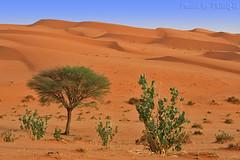 The desert - Explore (TARIQ-M) Tags: tree landscape desert dune riyadh saudiarabia  canonefs1855   topshots  calotropis natureplus  canon400d   photosandcalendar   worldwidelandscapes natureselegantshots panoramafotogrfico  naturepeopleinthenature  theoriginalgoldseal flickrsportal
