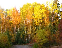 In all their morning glory ..... (fyrrylikka) Tags: morning autumn orange sun yellow poplar colours glowing birch shining abigfave omot citrit