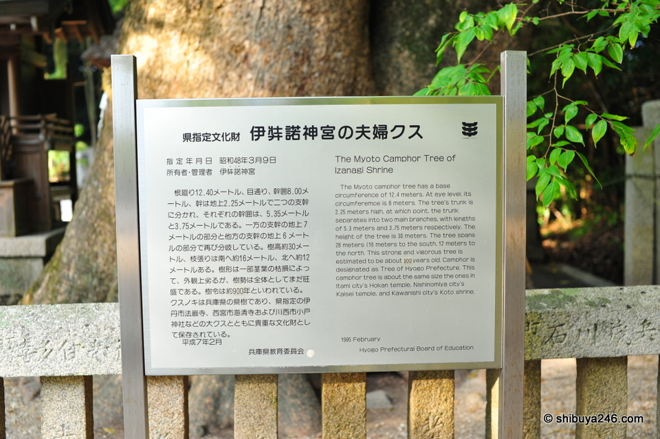 This Myoto Camphor Tree is estimated to be over 900 years old