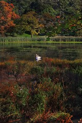 White Swans in Autumn (SunnyDazzled) Tags: autumn white lake colors swan pond autumnleaves fallfoliage swans swamp grasses wildflowers