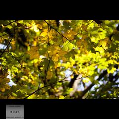 color of autumn [045/365] (pkuhnke) Tags: autumn color tree green 50mm nikon herbst grn nikkor f18 blatt bltter baum farben 045 365days 365project