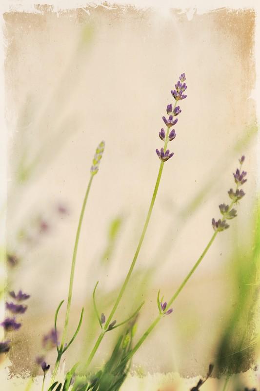 101010 Lavender 01