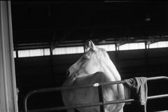 let me out! (thinktank8326) Tags: blackandwhite horse chicago film barn fence grey illinois midwest perfect flickr mare farm country gray ears noflash arena ilfordhp5 aurora pearl sweatshirt stable equine bigrock chicagoland turnout warmblood chicagosuburbs farmette trakehner minolta303b parkoaks kremeroyale thinktank8326