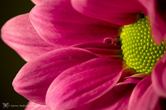 Pink & yellow (k4wea) Tags: pink flower yellow october pretty pad potd photoaday 365 chrysanthemum dailyphoto 2010 round2 take2 project365 explored 78365 october2010 365community highestposition468