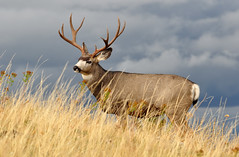 The Calm Before the Storm - Mule Deer Buck (Deby Dixon) Tags: sunlight nature grass clouds photography nikon montana wildlife rack buck deby allrightsreserved 2010 blacktail montanasky naturephotographer specanimal debydixon muledeerbuck debydixonphotography