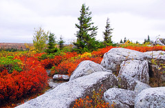 Dolly Sods (Peeping Dragon Photography) Tags: red west color tree fall rock virginia nikon wv wilderness dolly preserve spruce sods d80
