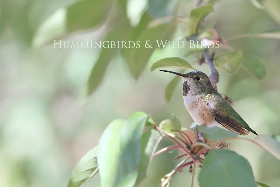 Allen's Hummingbird 10101-5