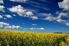 cotton candy clouds (Harry2010) Tags: blue cloud field day bluesky saskatchewan canola platinumheartaward pwpartlycloudy