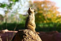 What's that? (Sometimes I'm Nicola) Tags: mammal meerkat suricatasuricatta chesterzoo sigma70300mm 400d