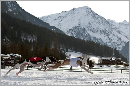 Windhunde - im - Schnee: Neustift, Stubaital, Österreich
