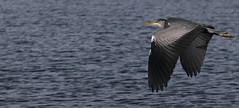 Take Off! (Paul Sivyer) Tags: lake heron paul wings flight llanberis llynpadarn wildwales sivyer