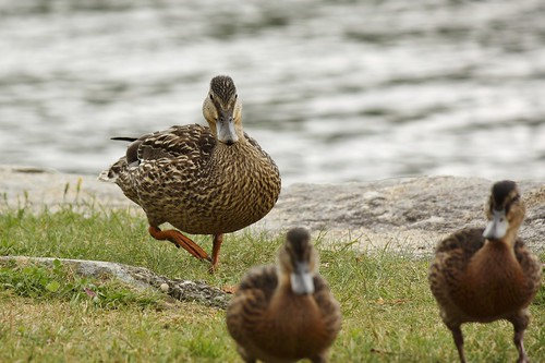 Ducks at Crystal Lake (4)