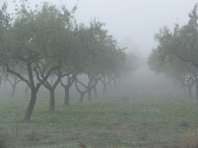 foggy orchard