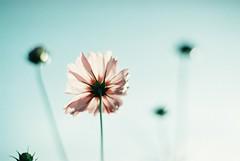 *コスモス (fangchun15) Tags: flower film japan zeiss tokyo bokeh explore cosmos 秋菊 nikonfe2 showakinenpark 昭和記念公園 コスモス solaris400 tachikaca