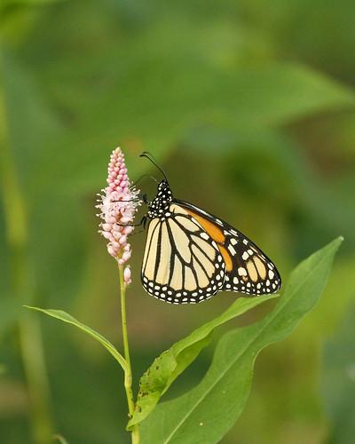MonarchButterflySmartweedRiceLakeCopperasCreekMgmntUnit08312010JGWard_MG_0975
