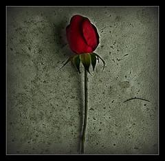 916 Rose (Nebojsa Mladjen
