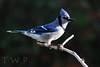 Coif (WanderWorks) Tags: blue canada bird nature newfoundland labrador branch jay outdoor wildlife wing beak feathers perch dsc2673nc1g