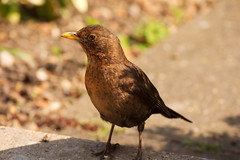 Blackbird (dj.bp) Tags: bird nature lens looking bokeh sony blackbird isolated sal 70300 70300g a700 backgroundblur sonyalpha sal70300g