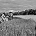 child in rice field