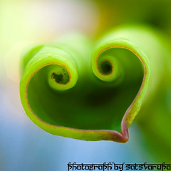 3600688834_0e4c28f3cf_o (sats_madman) Tags: plant flower lotus bokeh farm taiwan ntu taipei bud laef lotusflower nelumbonaceae taipeicounty nelumbo sindian jungpangwu oliverwu oliverjpwu nelumbonucifera ntufarm proteales nelumbonuciferagaertn olvwu eastindianlotus sindiancity jungpang ntuangkangfarm
