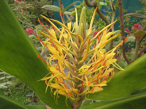 Hedychium gardnerian