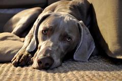Flip - weimaraner (irisroos) Tags: dog dogs weimaraner beautifull