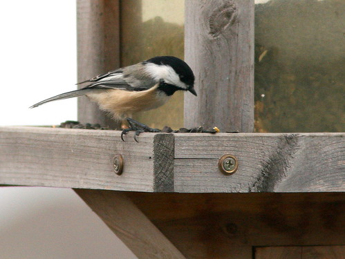 Black-capped Chickadee 20101025