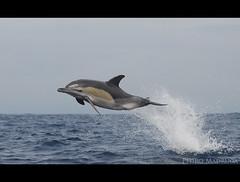 Delphinus delphis (PedroMadruga) Tags: 26outubro10