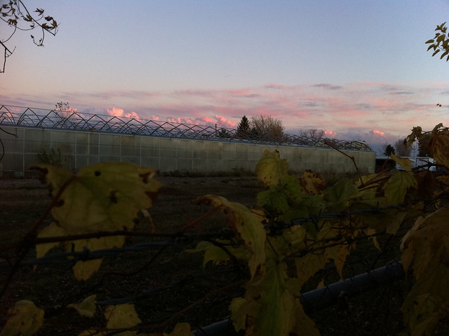 Sunset, Greenhouse, Grapevine.