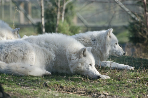 Artic Wolves