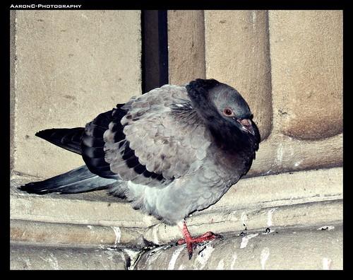 sleeping Pigeon