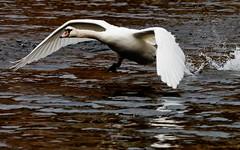 Running start (Steve-h) Tags: ireland dublin nature swan action wildlife flight takeoff grandcanal rathmines steveh canoneos5dmarkii canonef70200mmf28lisiiusm